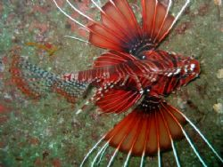 Lionfish hovering around Dibba Rock, Fujairah, UAE. Canno... by Peter Fields