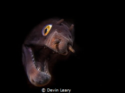 A local species of grey moray curiously peeking his head ... by Devin Leary