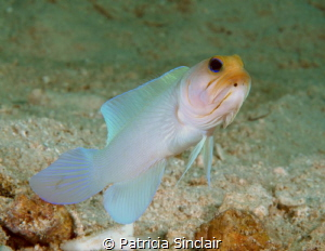 Yellow Headed jawfish checking me out. I spent a bit of t... by Patricia Sinclair
