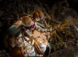Mantis shrimp's eyes by Nuno Alves