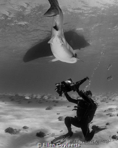 """""""Bow down Mister"""" Tiger shark passing above a videograph... by Ellen Cuylaerts"""