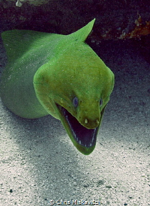 Green Moray - showing of its great smile.... by Chris Miskavitch