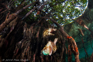 Reflections in the Mangroves.  Taken while snorkeling in ... by Pam Murph