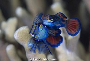 Mandarine in love by Puddu Massimo