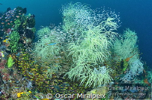 blackcoral ... by Oscar Miralpeix