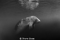 Manatee rising out of the gloom for a breath of fresh air. by Shane Gross