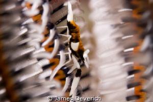 Crinoid Shrimp by James Deverich