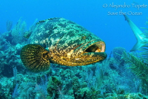 Goliat Grouper, Gardens of the Queen Cuba by Alejandro Topete