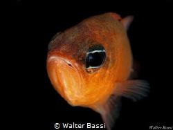 Apogon imberbis by Walter Bassi