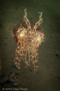 Reaching.    I encountered this cuttlefish while muck div... by Pam Murph