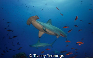 At the cleaning station, the scalloped hammerheads come v... by Tracey Jennings