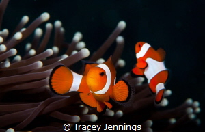 Nemo in Komodo - one of the very first photos I took unde... by Tracey Jennings