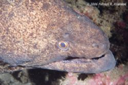 Full frame of a large yellow margin moray. D100, 105mm le... by Patrick Reardon