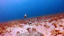 Amphiprion polymnus @ Kapas Island, Malaysia by Daniel Douglas