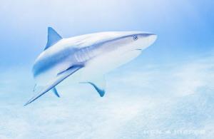 Reef Shark amongst Tigers   I am a big fan of the sleek... by Ken Kiefer