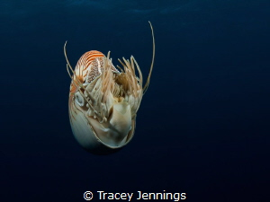 A living fossil .. the nautilus by Tracey Jennings