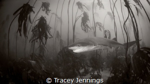 happy shark in kelp forest by Tracey Jennings