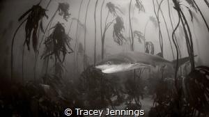 happy shark in kelp forest by Tracey Jennings