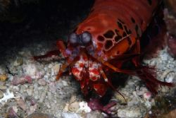 Mantis Shrimp. Canon EOS10D in Sea&Sea Nousing with strob... by Simon Trickett