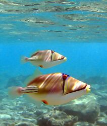 Two picasso fish spotted whilst snorkelling off the hotel... by Rob Spray