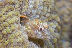 Full framed blenny using supermacro tech, Canon20D with 1... by Francisco Nakahara