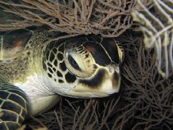 Resting Turtle! Shot in Sipadan Island, with Canon IXUS750. by Ed Eng