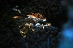 Porcelain crab on anemone. EOS 10D in SEA & SEA housing. ... by Simon Trickett