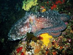 Starry starry night octopus - My first ever photo using a... by Dawn Watson