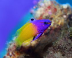 Royal Gramma: this is a fish really deserving of it's nam... by Michael Canzoniero