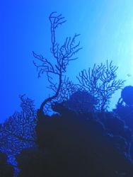 Coral Silhouette. Curacao. Canon Powershot S40. by Peter Fields
