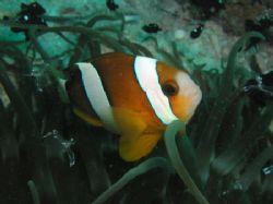 Three-band anemonefish, watching at the anemonefish getti... by Tony Otion