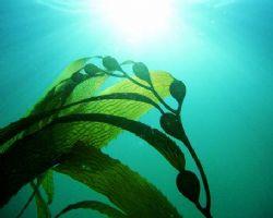 Kelp strand in natural light. La Jolla, CA. by Dallas Poore