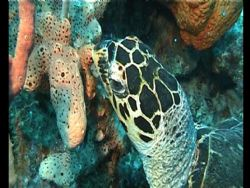 hawksbill turtle. I slowly swam though the reef and cough... by Carl Farran