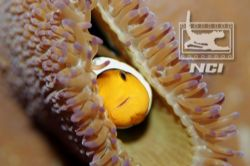 clownfish and anenomie taken with canon 20d ikelite hous... by Justin Bauer