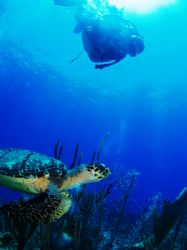 "Hawksbill turtle taken yesterday morning at ""Black Beauty... by Martin Spragg"