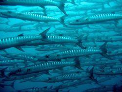 Barracuda shoal at Sipadan by Dawn Watson