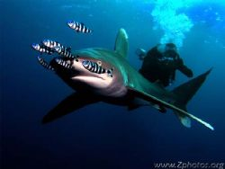 Thsi Oceanic White Tip split my friend and I apart while ... by Zaid Fadul