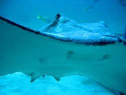 """""""Smile"""" - close up of stingray from the underside. Stingr... by Peter Fields"""