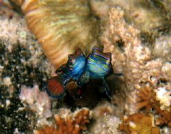 Mandarin Fishes spawning at dusk with a Canon Ixus500 at ... by Alex Lim