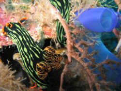 Nudibranche and tunicate on Sipadan Wall. taken with a ca... by Sven Dutoit