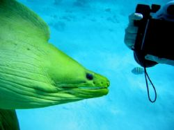 Free swimming Green Moray posing for the camera. Taken in... by Peter Fields