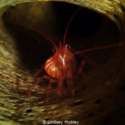 Shrimp in a tube sponge by Lindsey Mobley