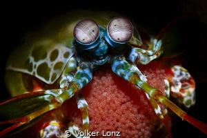 Mantis shrimp with eggs by Volker Lonz