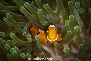 Clown anemonefish by Volker Lonz