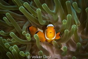 Clown anemonefish by Volker Lonz