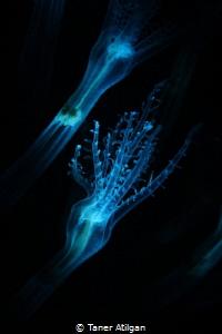 Blue Filtered Sea Pen Polyp by Taner Atilgan