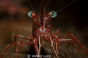 Durban dancing shrimp by Volker Lonz