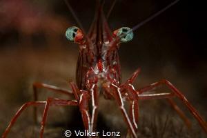 Durban dancing shrimp by Volker Lonz