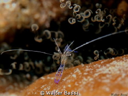 Akumal shrimp by Walter Bassi