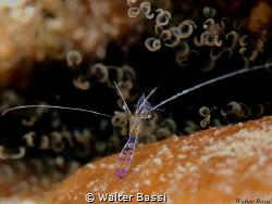 Akumal shrimp by Walter Bassi